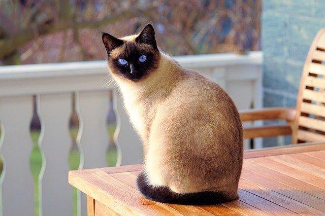 siamská kočka na stole